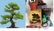 Japanese Black Pine Bonsai Kit - Soil/Pots/Seeds2x/Wire/Fertilzer/Mesh/Tweezer